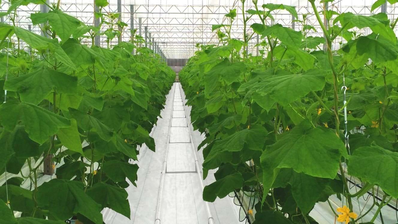 خیار گلخانه ای بهتر است یا خیار مزرعه ای؟